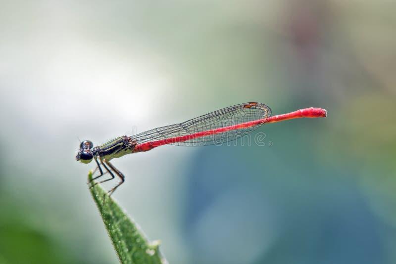 Гостиница Dragonfly в зеленых лист стоковая фотография