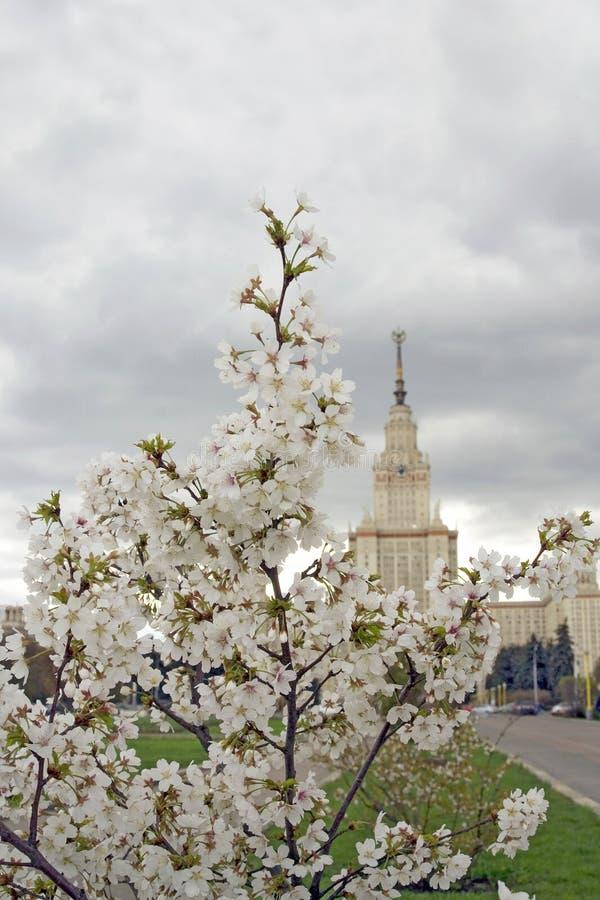 Государственный университет Москвы вал яблока зацветая стоковые фото