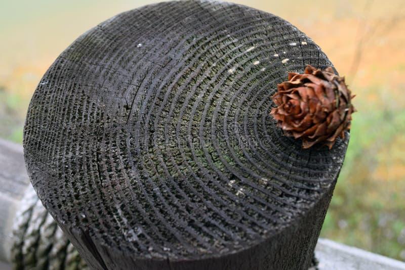 Годичное кольцо стоковая фотография rf