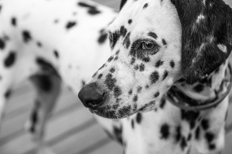 Голова далматинской собаки стоковое фото rf