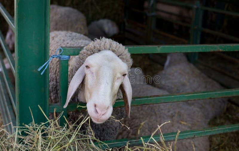 Голова вставленная овцами в загородке стоковое изображение rf