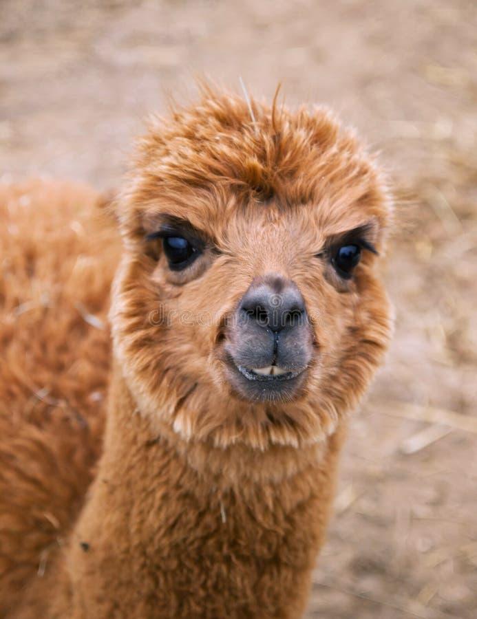 Голова гуанако лама стоковые фото