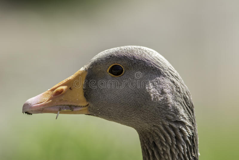 Голова гусыни Greylag Закройте вверх стороны в профиле стоковые фото