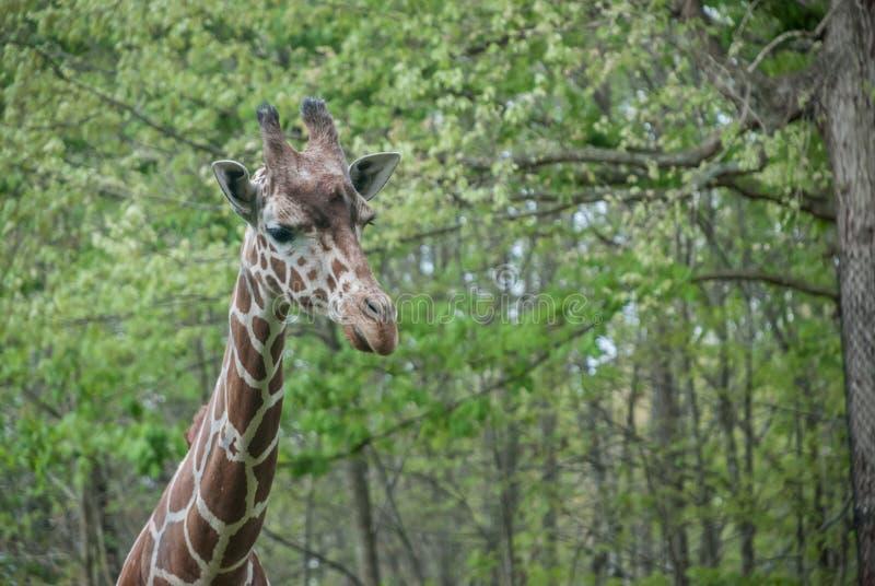 Голова жирафа против зеленой предпосылки стоковые фотографии rf