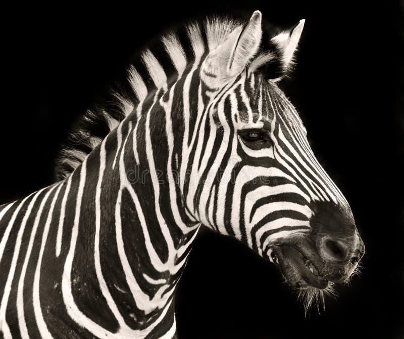 Голова зебры стоковые изображения