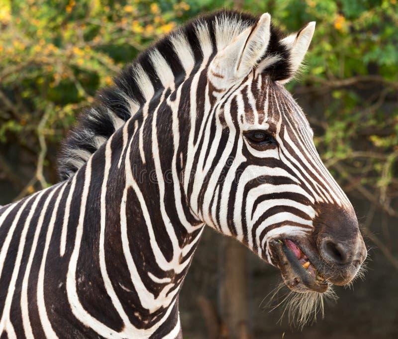 Голова зебры стоковое изображение rf