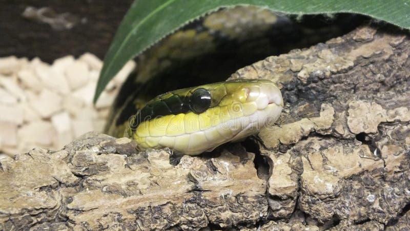 Голова змейки стоковое фото rf