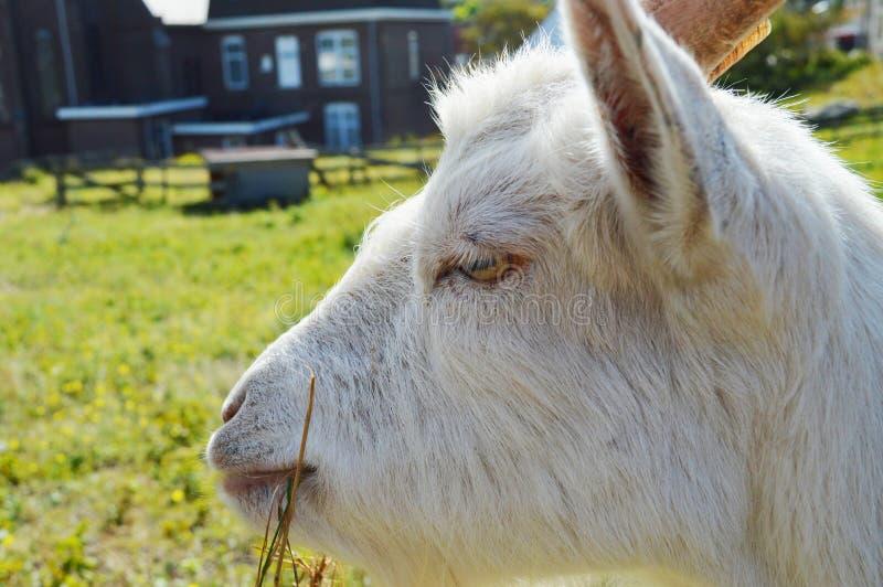 Голова и трава козы стоковые изображения rf