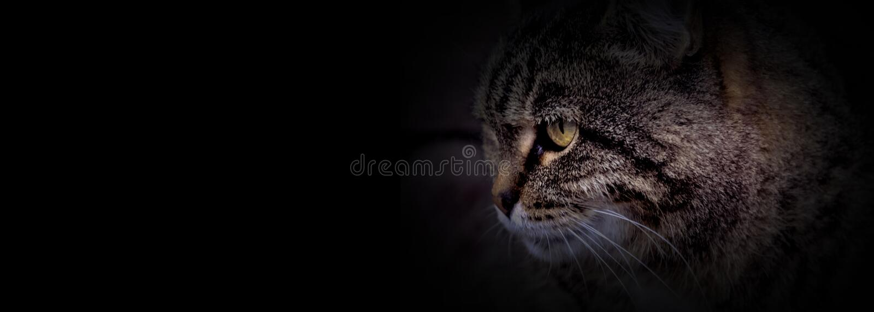 Голова кота с черной предпосылкой стоковые фотографии rf