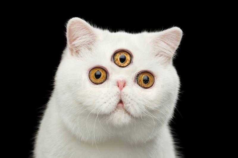 Голова кота упредителя конца-вверх чисто белая экзотическая изолировала черную предпосылку стоковая фотография rf