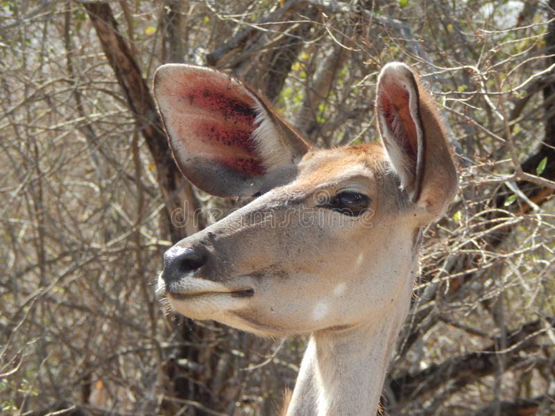 Голова овцы Kudu стоковое фото rf