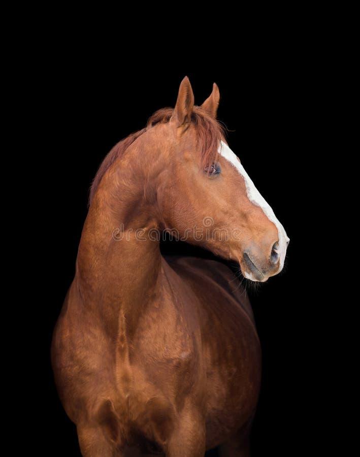 Голова лошади каштана на черноте стоковое фото rf