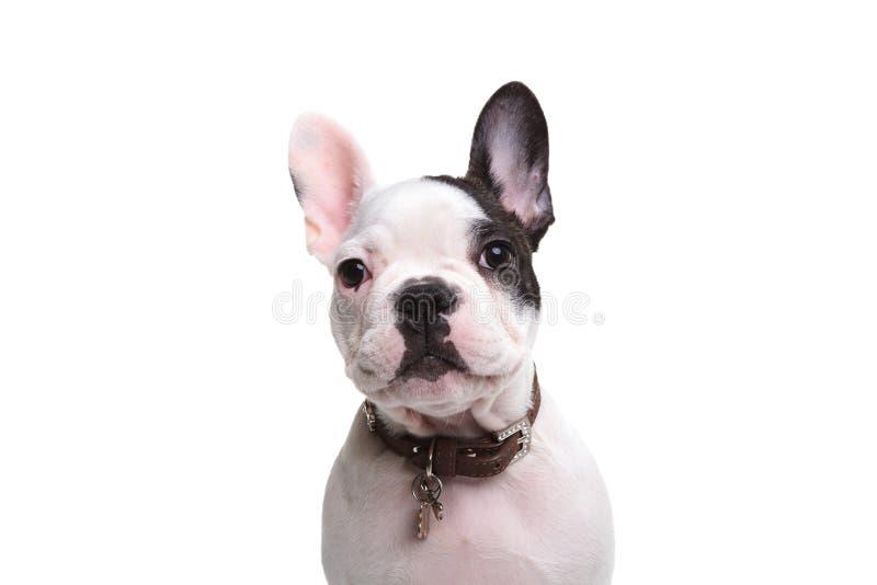 Голова прелестной французской собаки щенка стоковая фотография