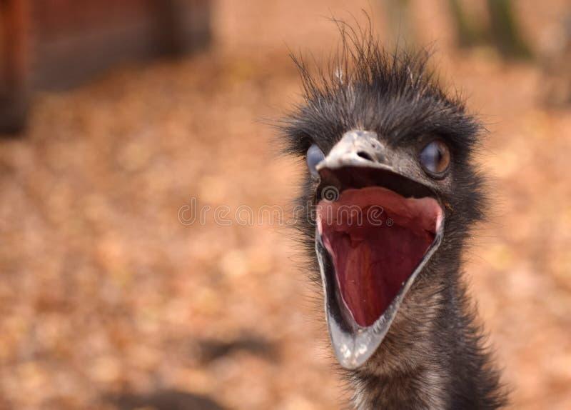 Голова птицы эму стоковые изображения rf