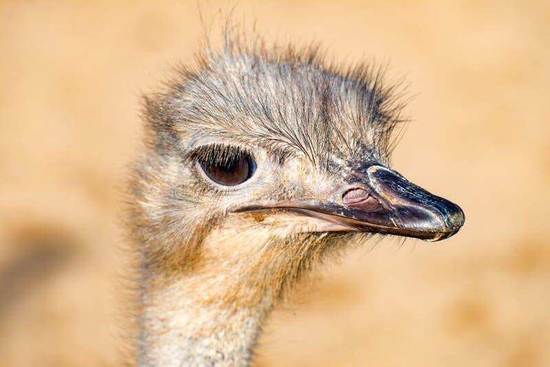 Download Голова птицы 1 эму стоковое фото. изображение насчитывающей смотреть - 81806318