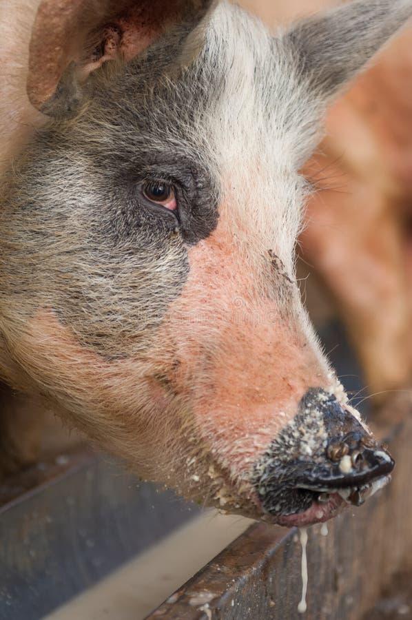 голова свиньи в ферме стоковые изображения rf