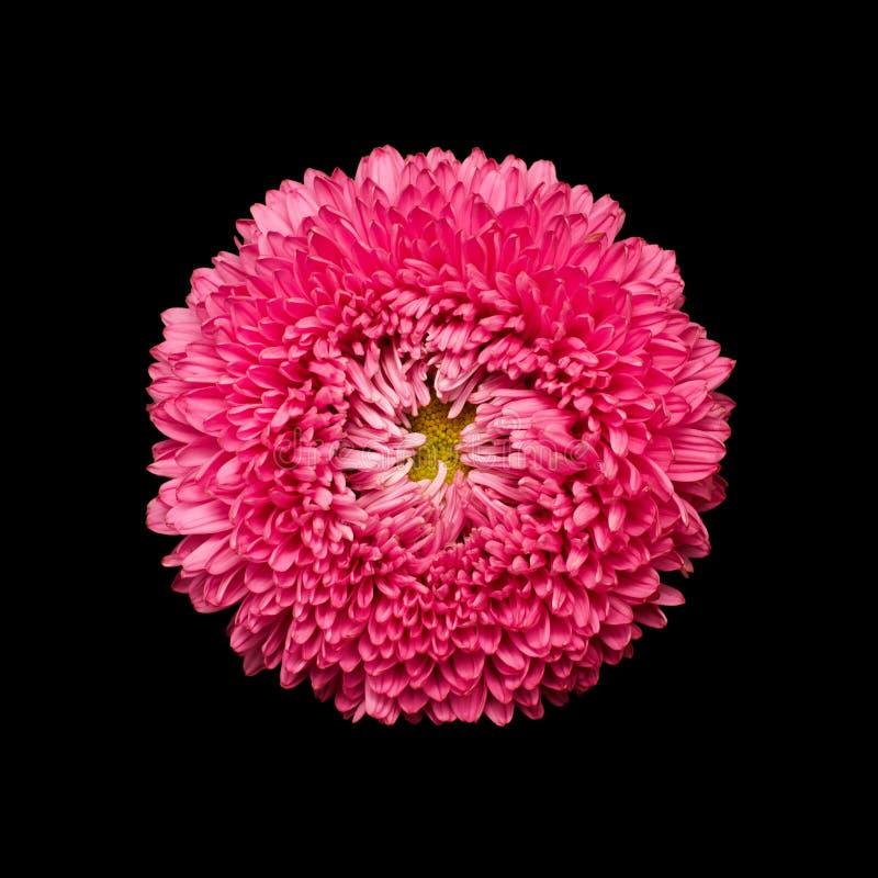 Голова цветка астры изолированная на черноте стоковые фотографии rf