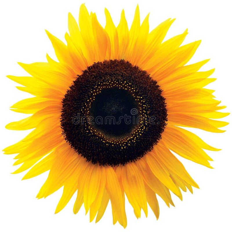 Голова цветка общего солнцецвета, изолированный зацветая род подсолнечник стоковая фотография rf