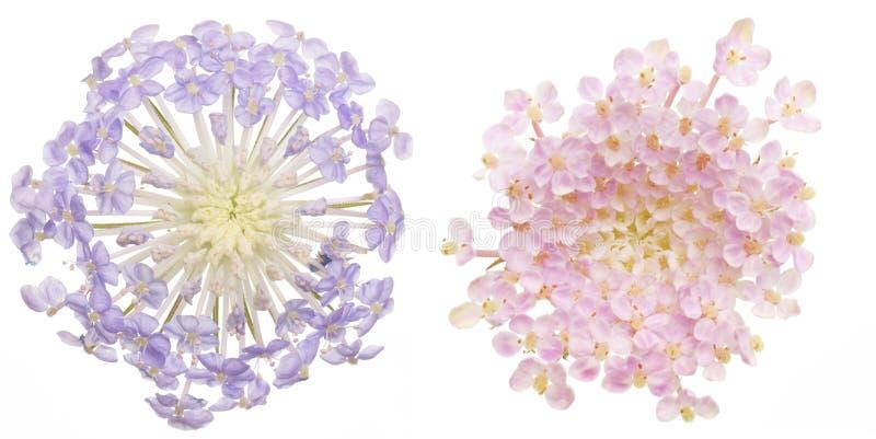 Голова цветка цветков pincushion стоковое фото rf