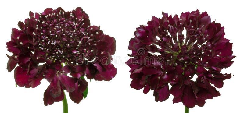 Голова цветка цветков pincushion стоковая фотография