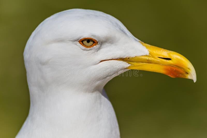 Голова чайки с зеленой предпосылкой стоковые изображения rf