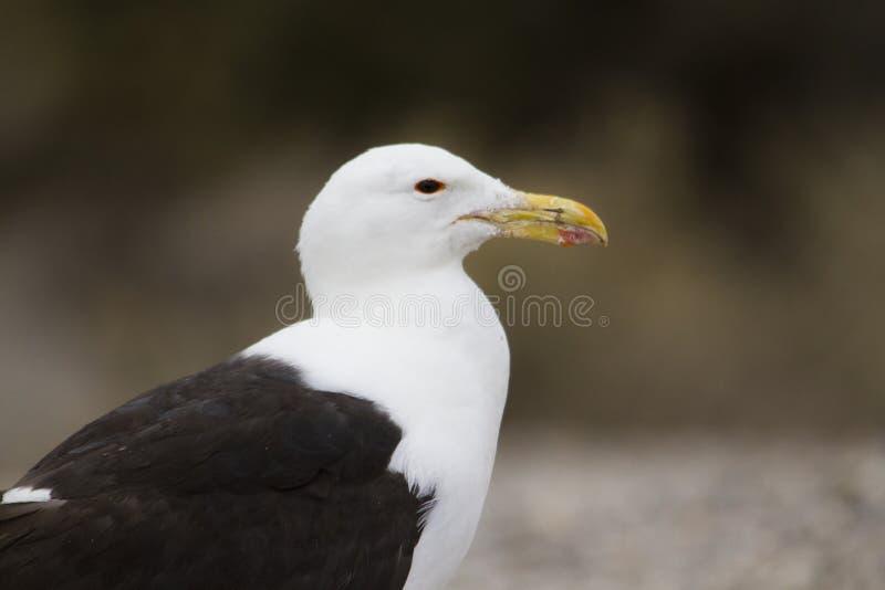 Голова чайки стоковые фотографии rf