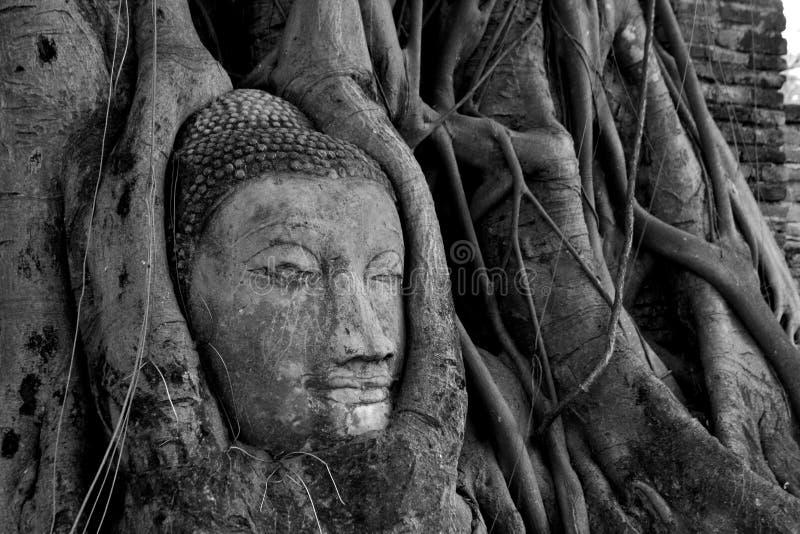 Головка Будды врезанная в дереве баньяна стоковые изображения