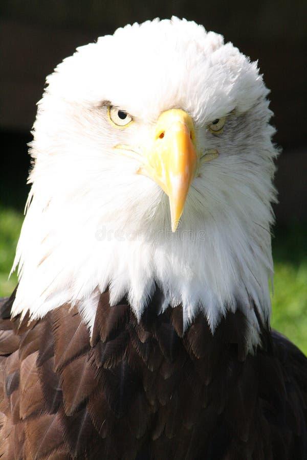 Головка облыселого орла стоковая фотография