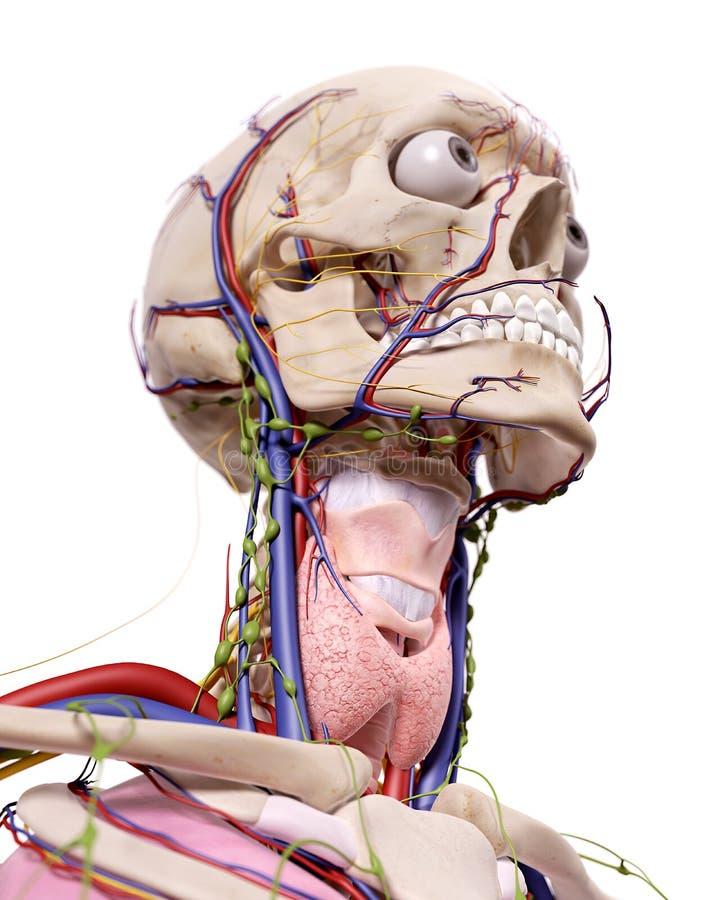 Головная анатомия иллюстрация вектора