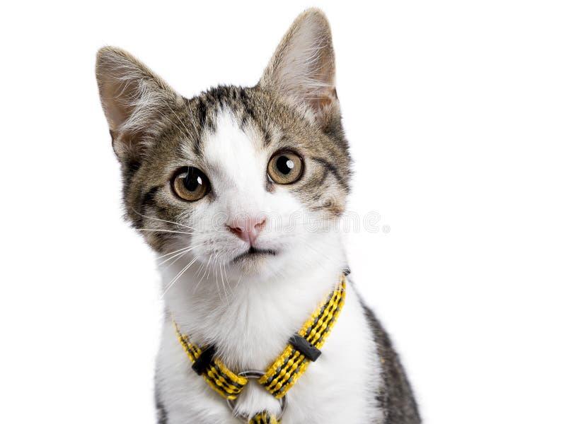 Головная съемка опрокинула европейского портрета котенка shorthair сидя вверх на белой предпосылке нося желтые harnas стоковые фото