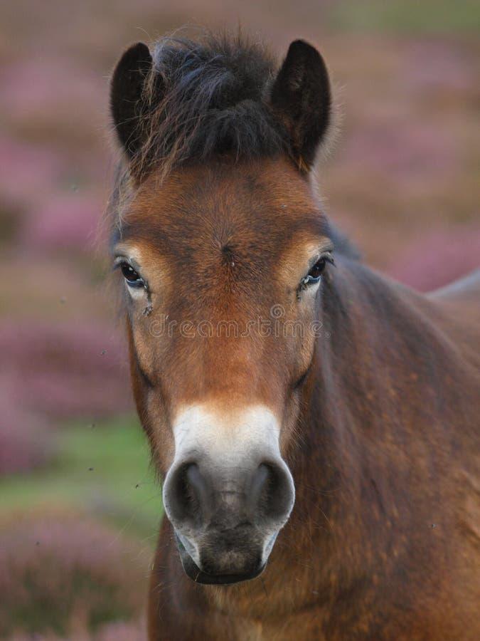 Съемка головки пониа Exmoor стоковые фотографии rf