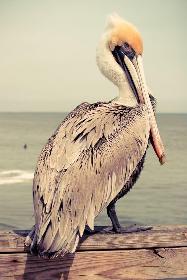головной желтый цвет пеликана стоковая фотография