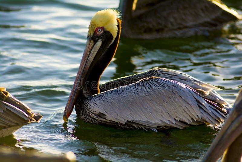 головной желтый цвет пеликана стоковое фото