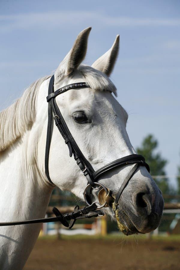 Головной крупный план съемки молодой лошади на событии выставки скача стоковая фотография