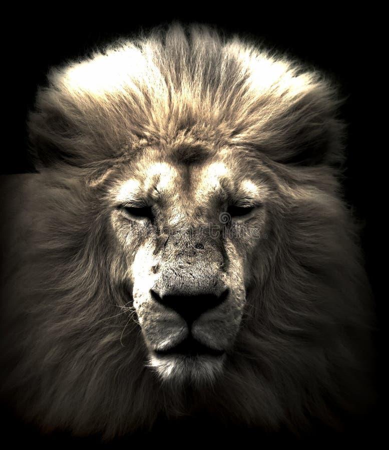 головной львев стоковые фото