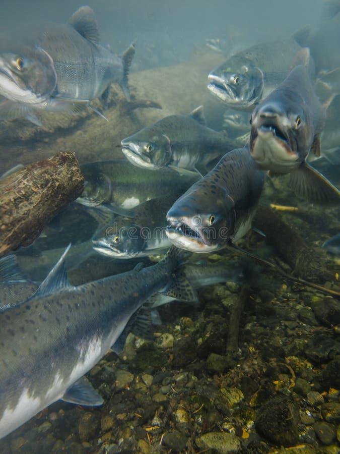 Головы подводного рта взгляда открытые порождать семг sockeye стоковое изображение