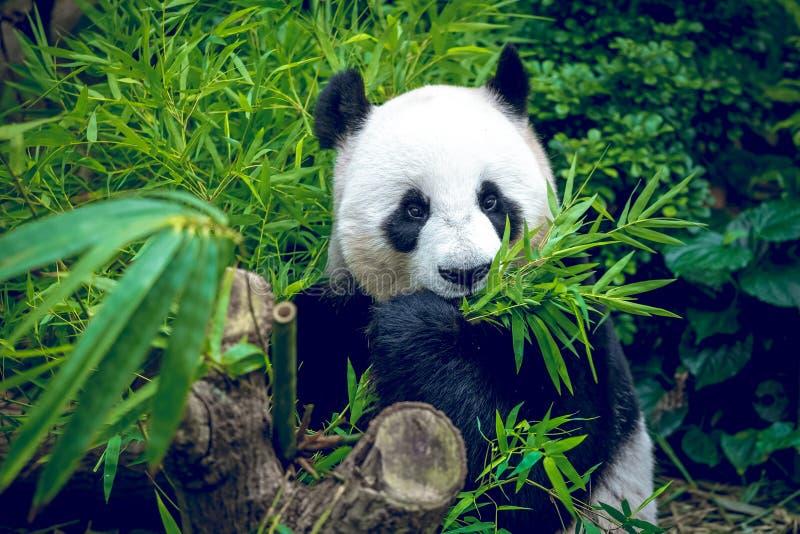 Голодная гигантская панда стоковая фотография rf