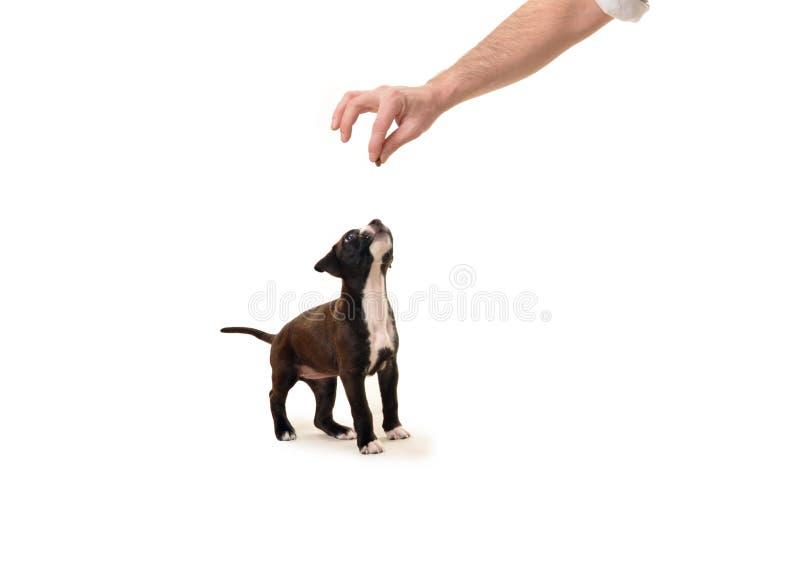Голодный щенок ждет обслуживание стоковое изображение rf