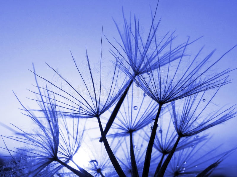 Голубая абстрактная предпосылка цветка одуванчика, крупный план стоковые фотографии rf
