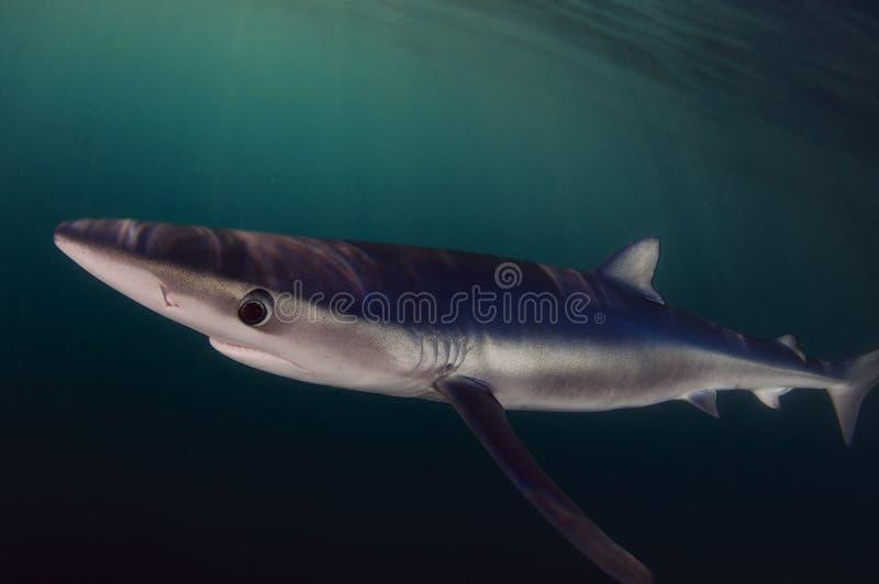 голубая акула стоковые изображения rf