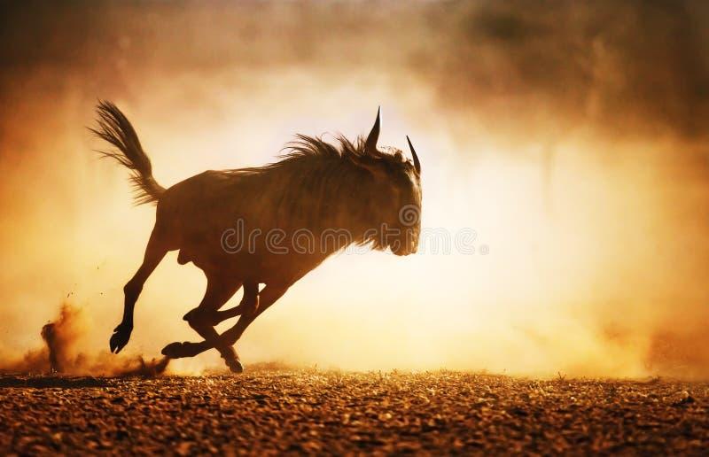 Голубая антилопа гну бежать в пыли стоковая фотография
