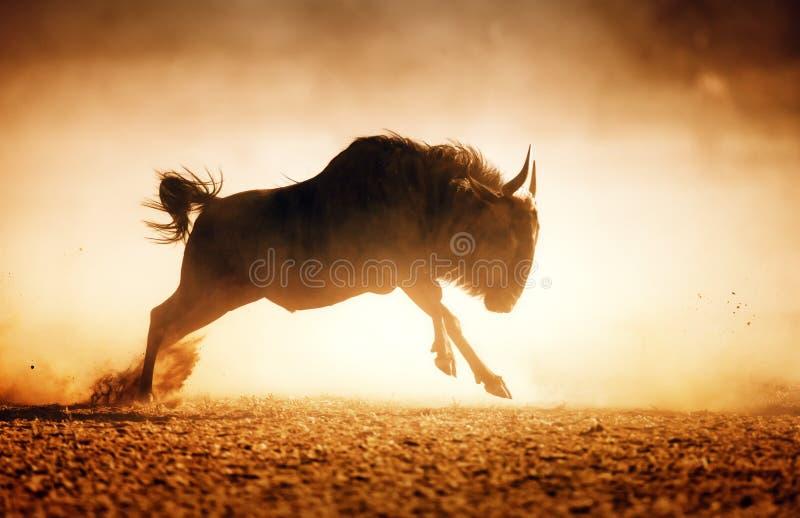 Голубая антилопа гну бежать в пыли стоковые изображения rf