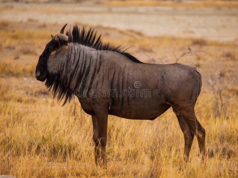 Голубая антилопа гну (гну) стоковое изображение