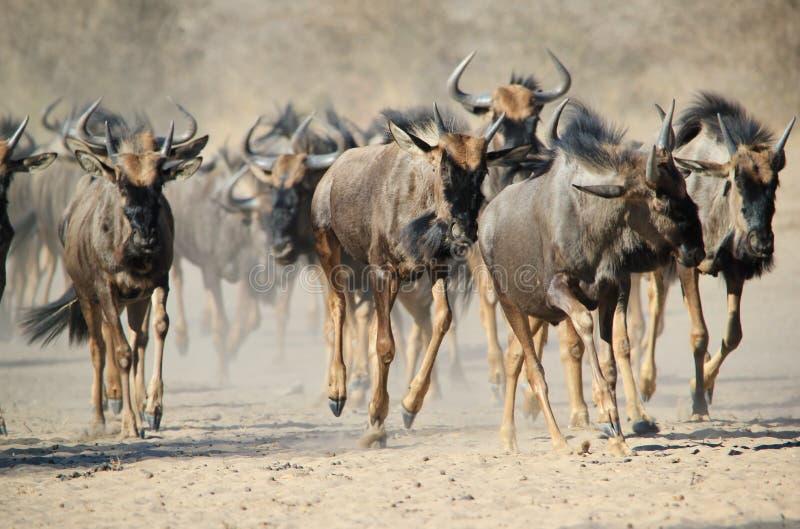 Голубая антилопа гну - живая природа от Африки - паническое бегство копыта и пыли стоковые изображения rf
