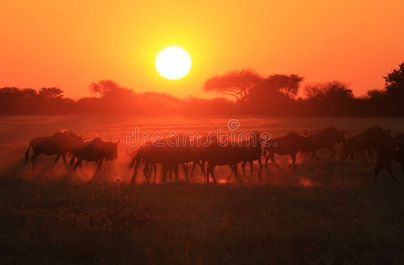 Голубая антилопа гну - предпосылка живой природы - золотая пыль стоковые изображения