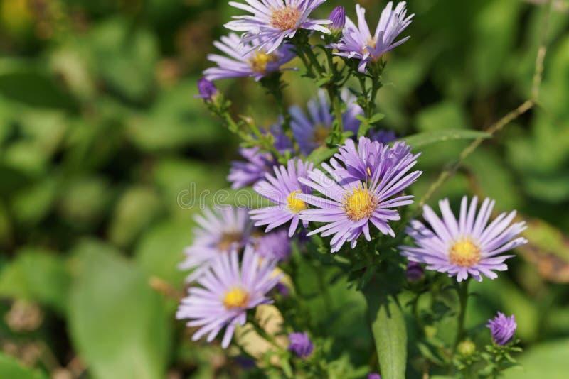 Голубая астра в саде, цветень стоковое изображение