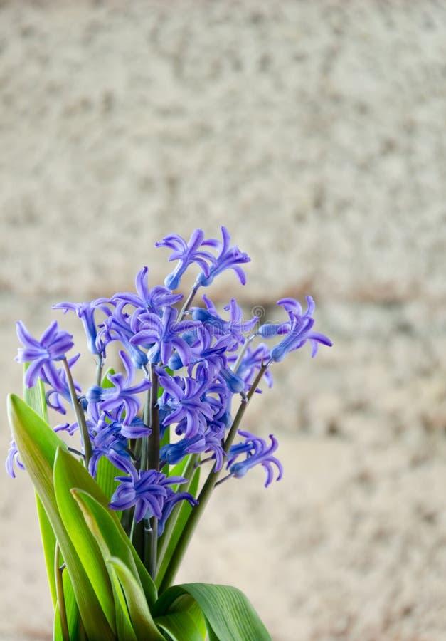 Голубая весна цветет с зелеными листьями на оранжевой предпосылке стоковое изображение
