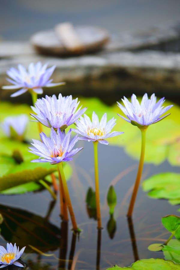 голубая вода лилии стоковые изображения