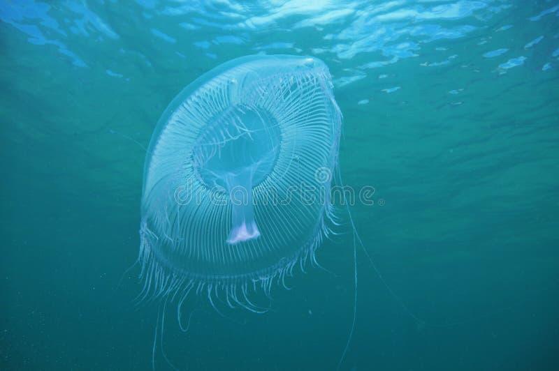 голубая вода медуз стоковое фото