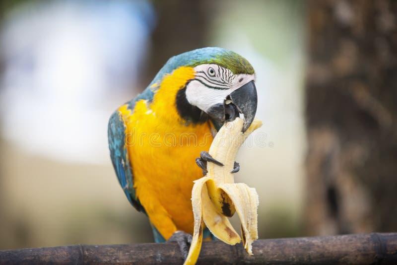 Голубая и желтая ара есть банан, Boracay, Филиппины стоковые изображения